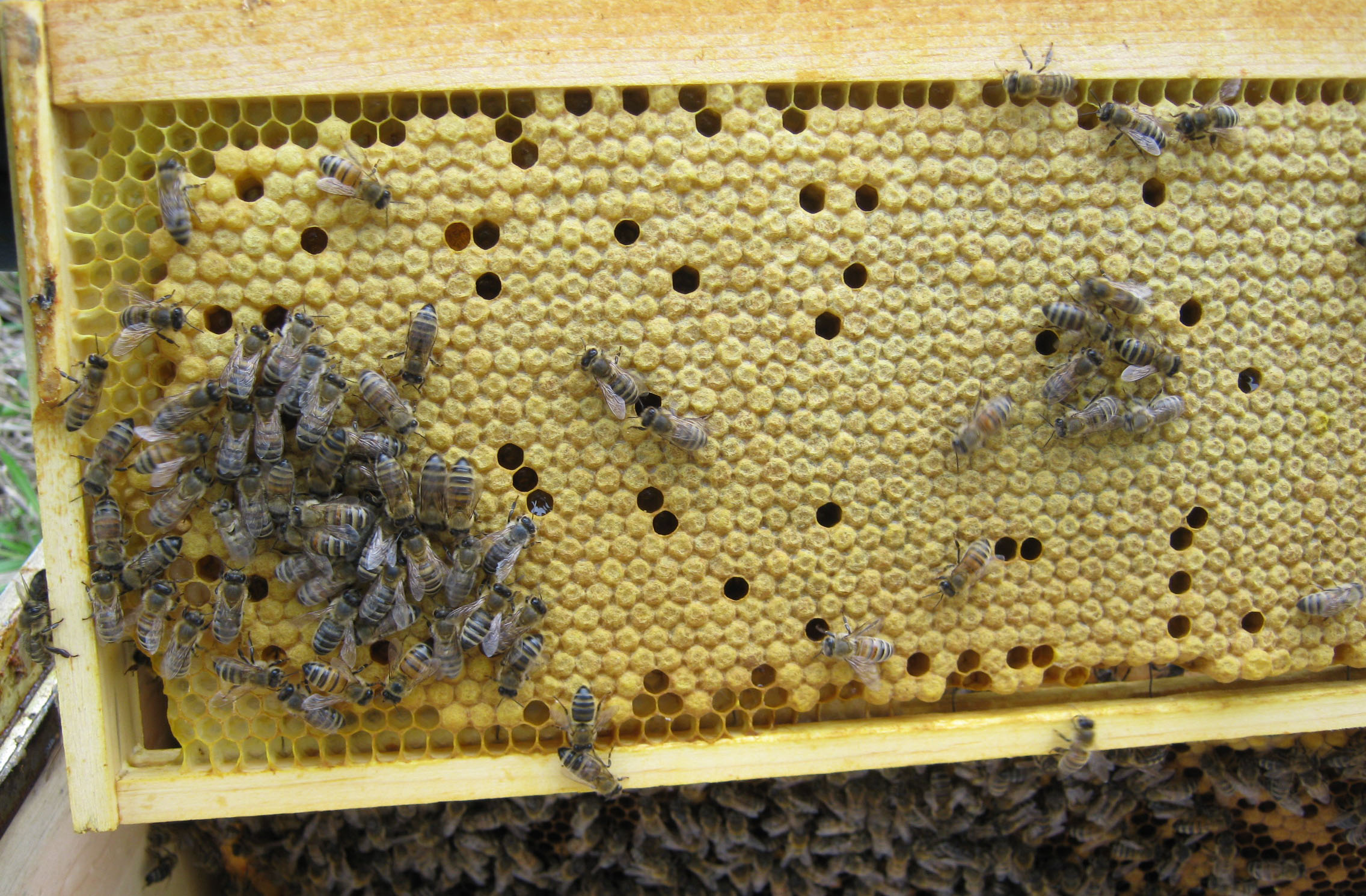 Frame full of capped brood